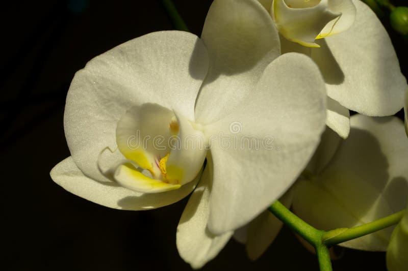 Białego Storczykowego kwiatu makro- fotografia obrazy stock