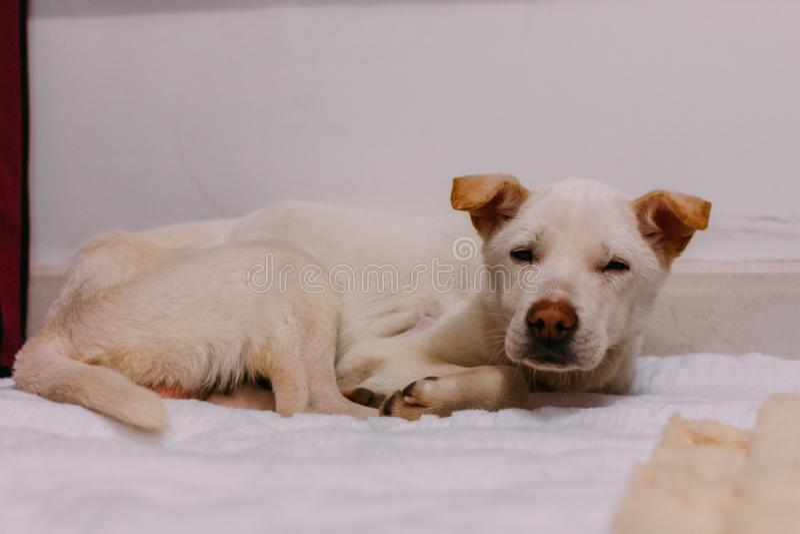 Białego ulicznego psa słuszny oszczędzony od ulicy odczucia i słabej i śpiącej obraz stock