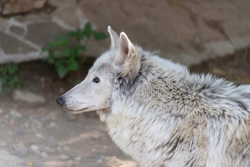 Białego wilka Canis lupus albus Tundrowy wilk z kaleką łapą lub, ofiara ludzki okrucieństwo w zoo zdjęcie royalty free