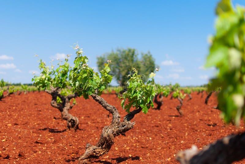 Białego winogrona winnicy teren podczas wiosny zdjęcie stock