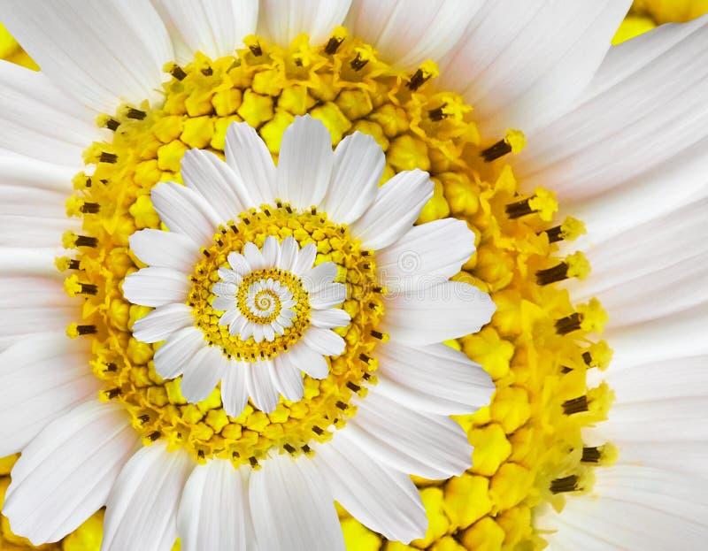Białej żółtego rumianku stokrotki kosmosu kosmeya kwiatu spirali fractal skutka wzoru abstrakcjonistyczny tło Białego kwiatu spir obrazy royalty free