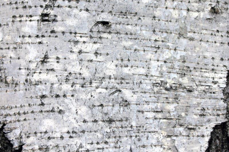 Białej brzozy barkentyna, zbliżenie tekstury naturalny tło fotografia stock