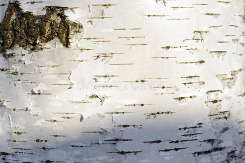 Białej brzozy barkentyny tekstury tło obraz stock