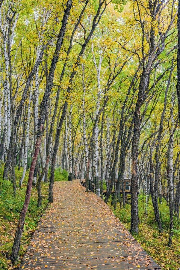 Białej brzozy drewna i lasu ścieżka fotografia royalty free