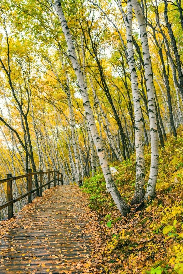 Białej brzozy drewna i lasu ścieżka fotografia stock