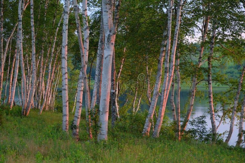 Białej brzozy drzewa przy wschodem słońca obrazy royalty free