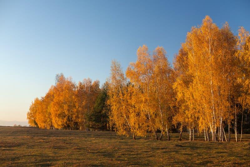 Białej brzozy drzewa w jesieni z złotymi liśćmi obraz stock