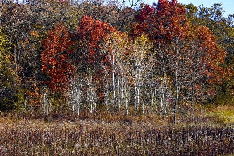 Białej brzozy drzewa w spadku obrazy stock
