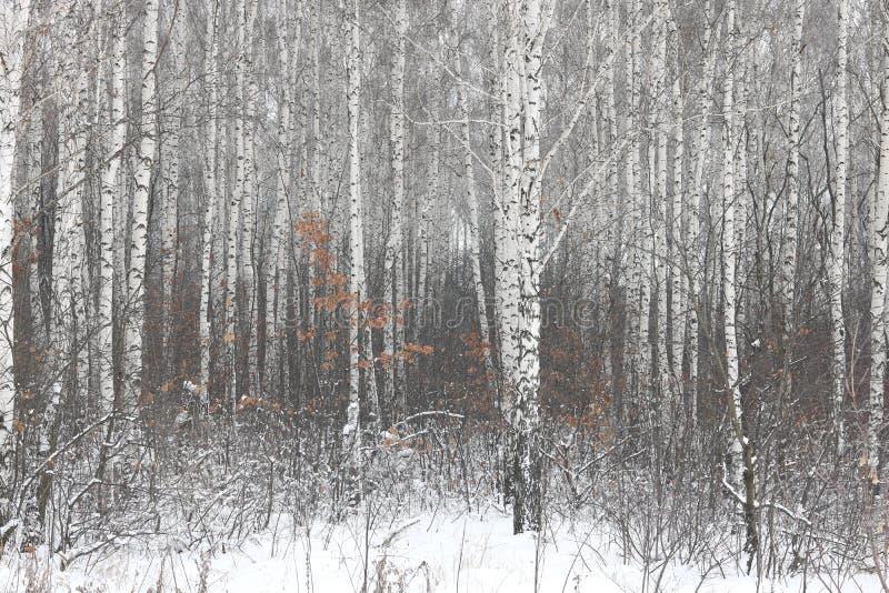 białej brzozy drzewa z brzozy barkentyną w brzoza lesie wśród innych brzoz w zimie na śniegu obraz stock