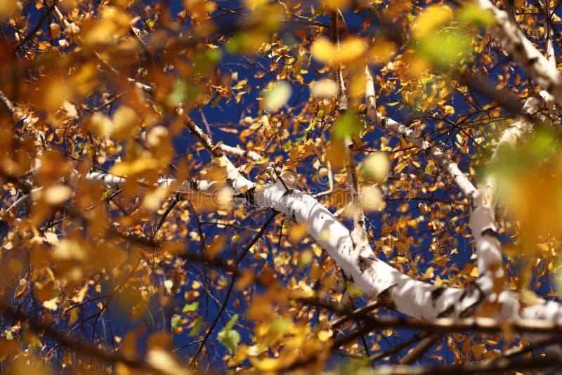 Białej brzozy drzewna barkentyna fotografia stock
