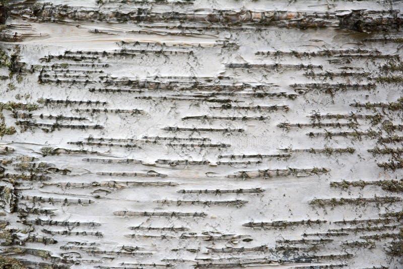 Białej brzozy drzewnej barkentyny tło z kreskowymi wzorami fotografia stock