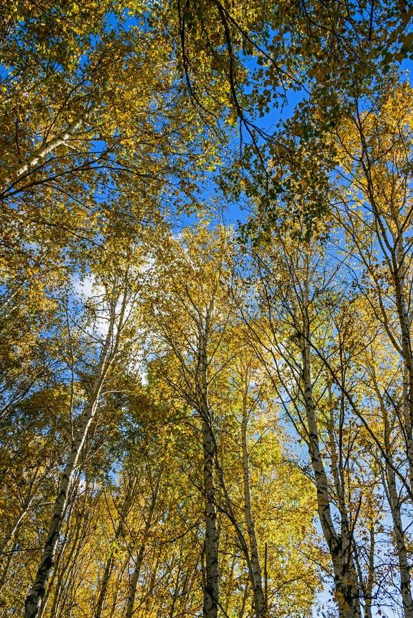 Białej brzozy jesieni sceneria zdjęcia royalty free