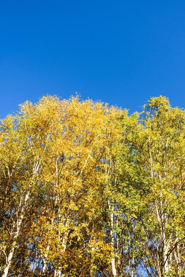 Białej brzozy jesieni sceneria fotografia stock