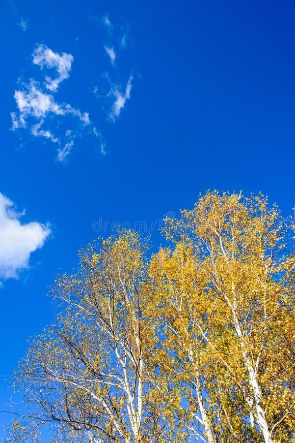 Białej brzozy jesieni sceneria fotografia royalty free