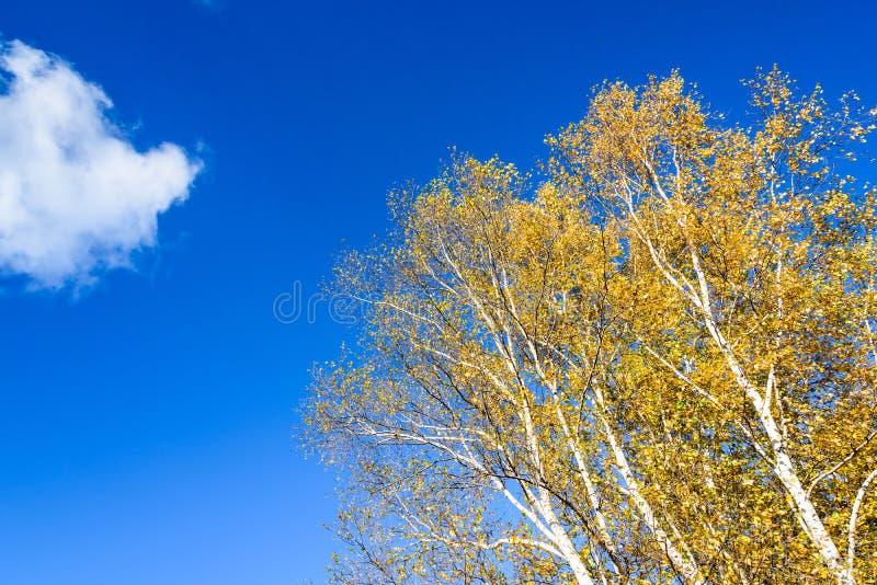 Białej brzozy jesieni sceneria obrazy royalty free