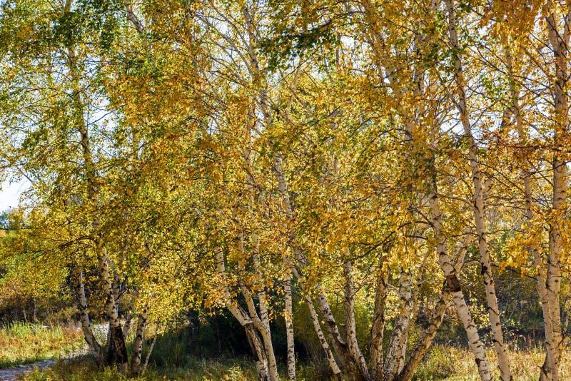 Białej brzozy jesieni sceneria obraz royalty free