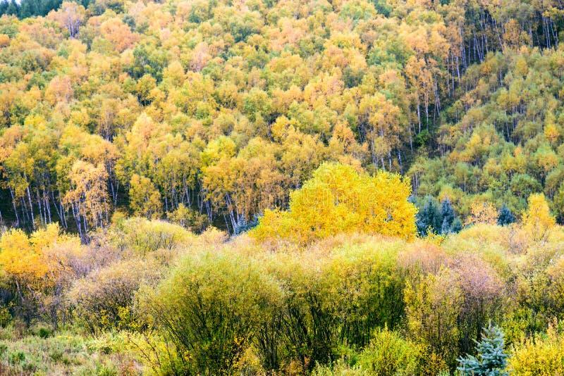 Białej brzozy las zdjęcie stock