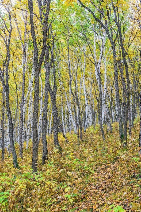 Białej brzozy las obrazy royalty free