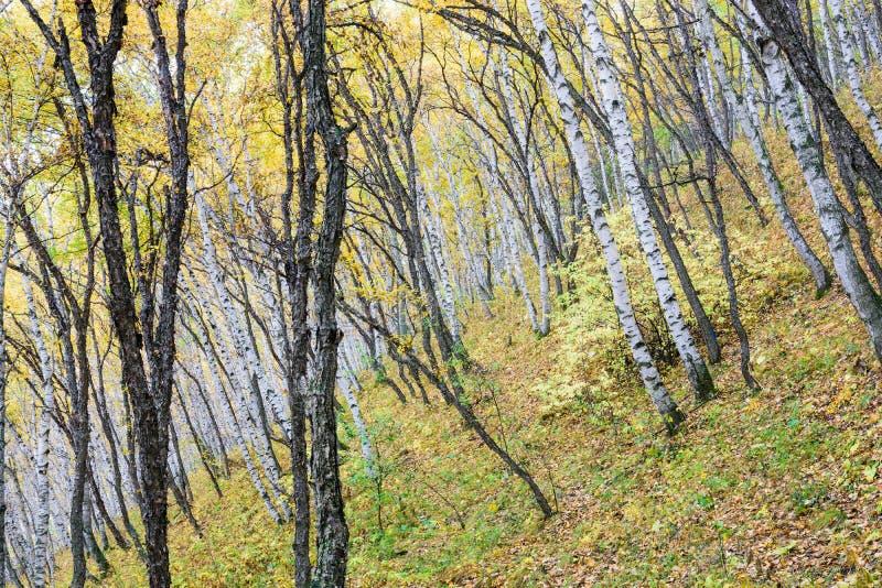 Białej brzozy las zdjęcia royalty free
