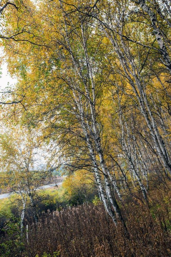 Białej brzozy las obraz stock