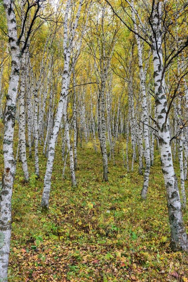 Białej brzozy las obraz royalty free