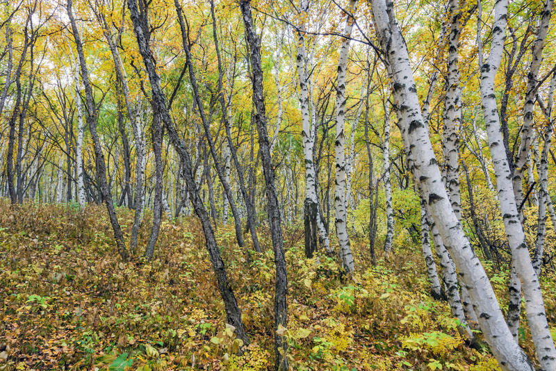 Białej brzozy las zdjęcie royalty free