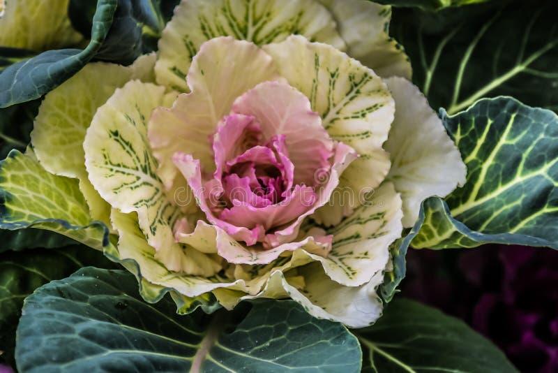 Białej kapusty kwiat fotografia royalty free