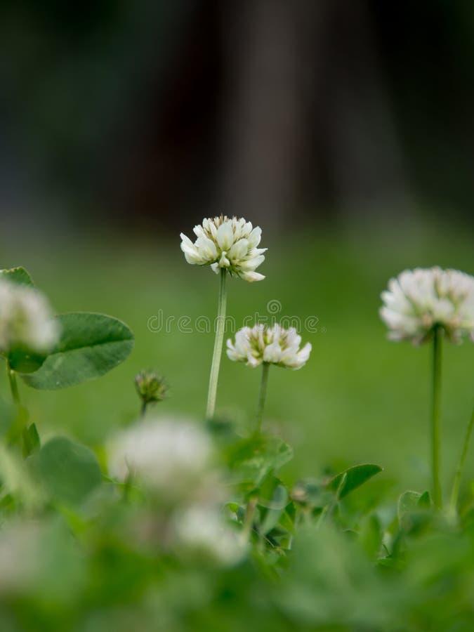 Białej koniczyny Trifolium repens zdjęcia royalty free