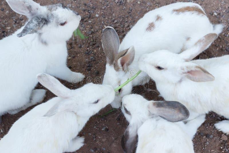 Białej królik wybiórki ostrości rozmyty tło, para królika plamy tło, Grupowi biali króliki na podłoga fotografia royalty free
