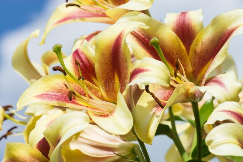 Białej lelui kwiat w ogródzie fotografia royalty free