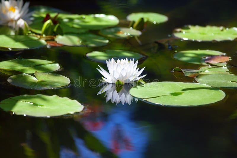 Białej lelui kwiatu okwitnięcie na błękitne wody i zielonym liścia tle zamkniętych w górę waterlily, piękny w kwiacie na stawie,  zdjęcie royalty free