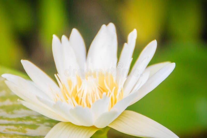 Białej lelui Nil Nymphaea Ampla lub Biały Lotus czasem dzwonią Dotleaf wodna leluja obraz stock