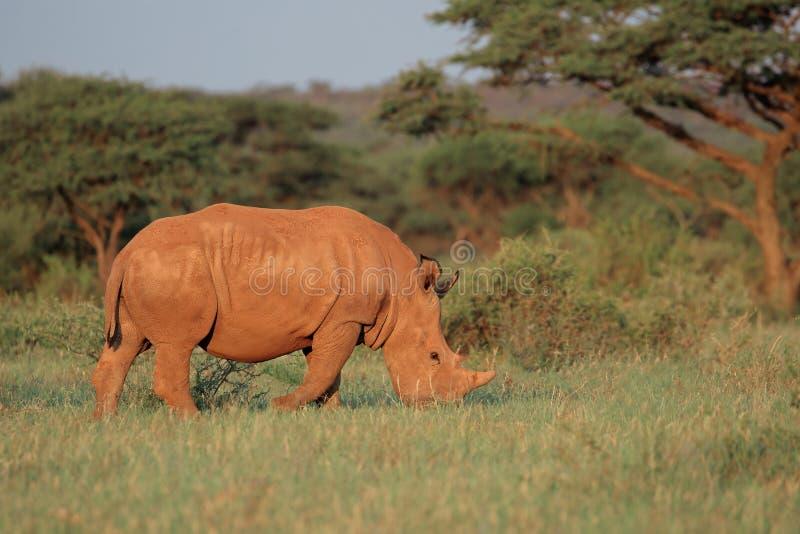Białej nosorożec pasanie - Południowa Afryka obraz stock