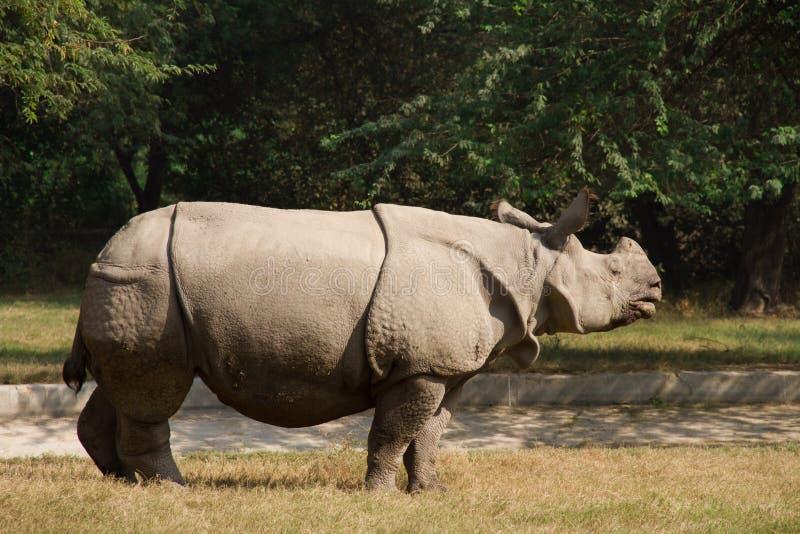 Białej nosorożec pobyt przy trawą, India obraz stock