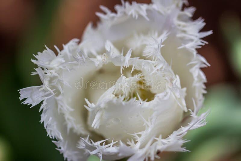 Białej Opierzonej krawędzi Tulipanowi kwiaty, Wiktoria, Australia, Wrzesień 2016 fotografia stock