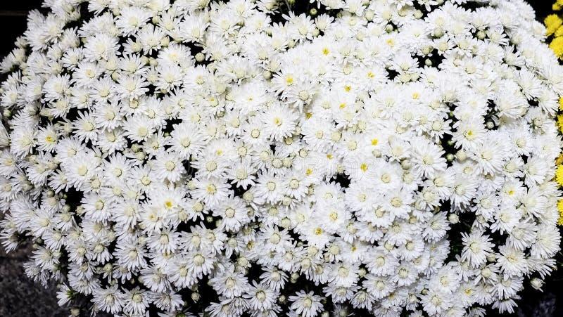 Białej stokrotki krzaki obraz royalty free
