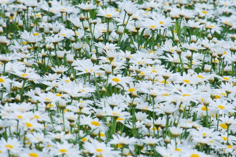 Białej stokrotki kwiatów pola Bellis perennis zdjęcia stock