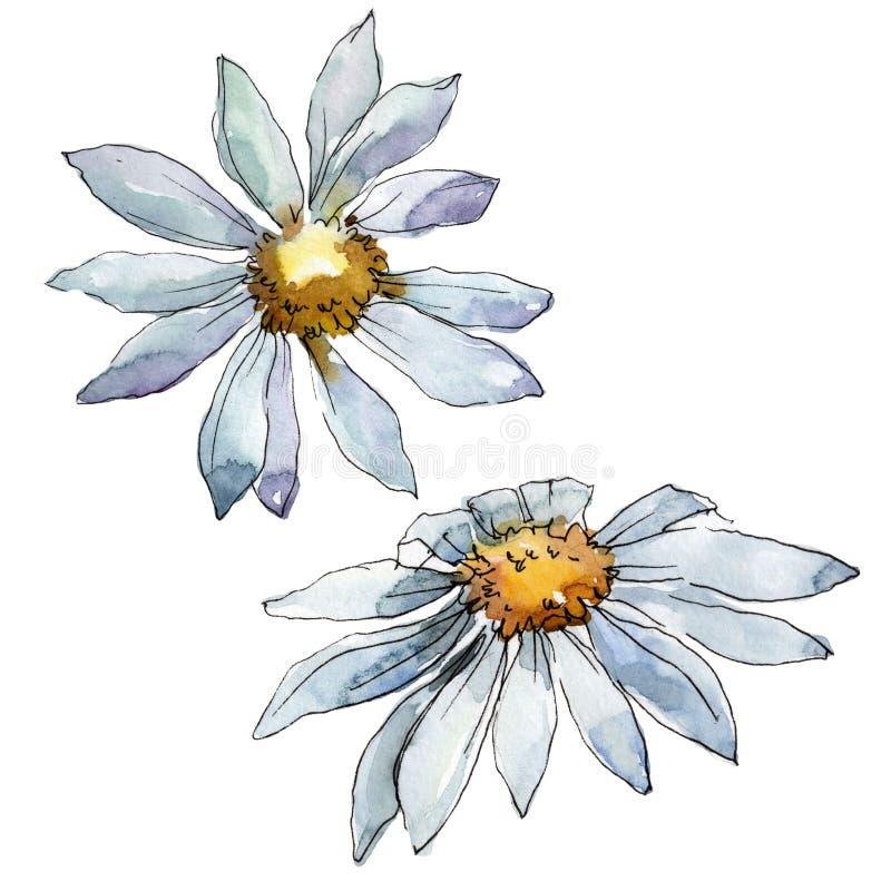 Białej stokrotki kwiat Kwiecisty botaniczny kwiat Odosobniony ilustracyjny element royalty ilustracja
