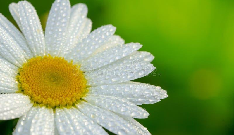 Bia?ej stokrotki kwiatu ogr?d z kroplami rosa na p?atkach w g?r?, zdjęcia royalty free