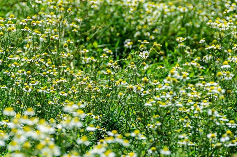 Białej stokrotki pole kwitnie up, Margaret dzika łąka, zakończenie obrazy stock