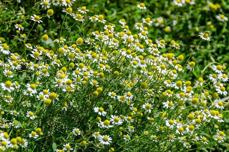 Białej stokrotki pole kwitnie up, Margaret dzika łąka, zakończenie obrazy royalty free