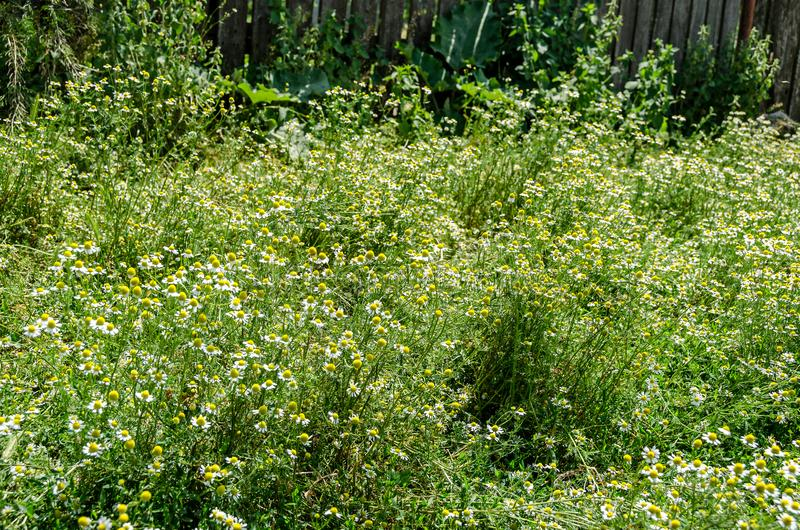Białej stokrotki pole kwitnie up, Margaret dzika łąka, zakończenie fotografia royalty free