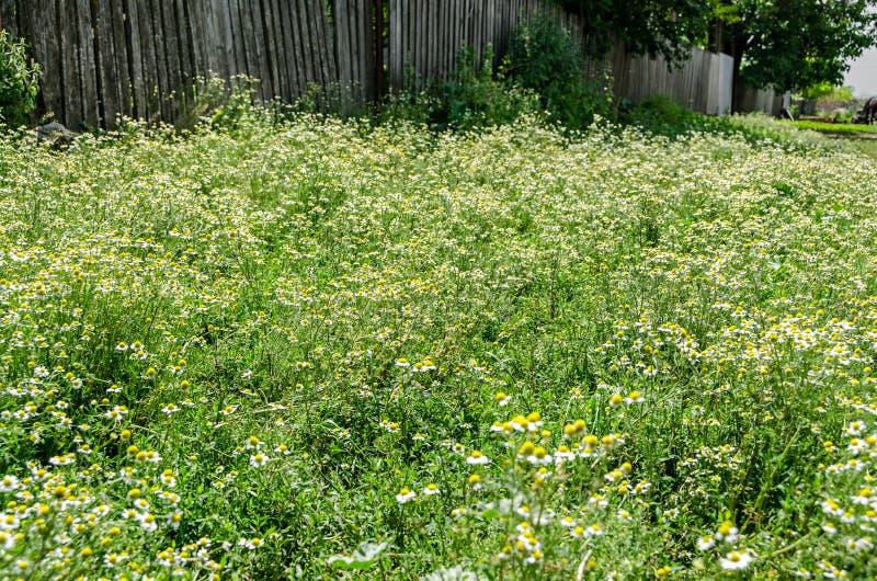Białej stokrotki pole kwitnie up, Margaret dzika łąka, zakończenie zdjęcia royalty free
