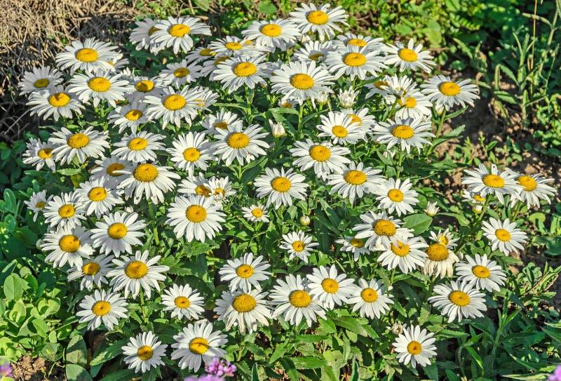 Białej stokrotki pole kwitnie up, Margaret dzika łąka, zakończenie zdjęcia stock
