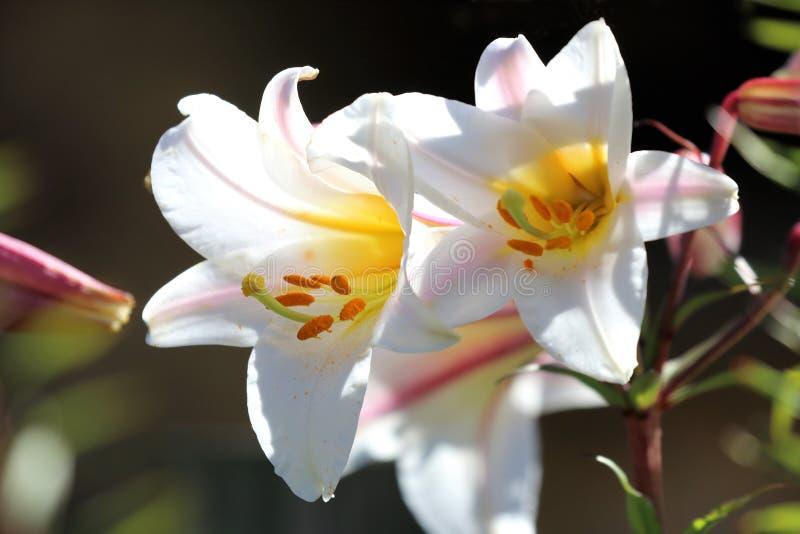 Białej trąbki leluje w ogródzie obraz royalty free
