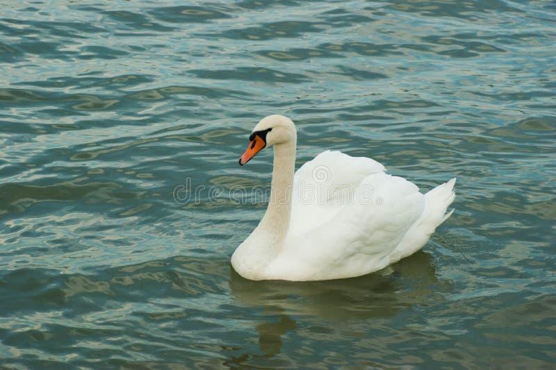 Biały łabędź zdjęcie stock