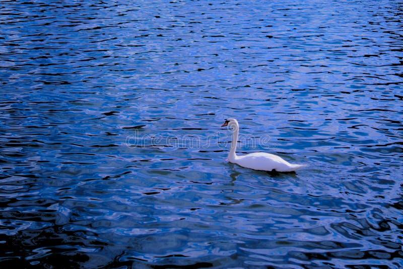 Biały łabędź obraz royalty free