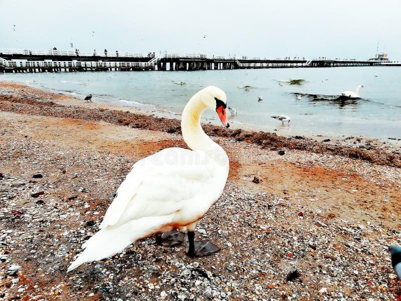 Biały łabędź i seascape zdjęcie stock