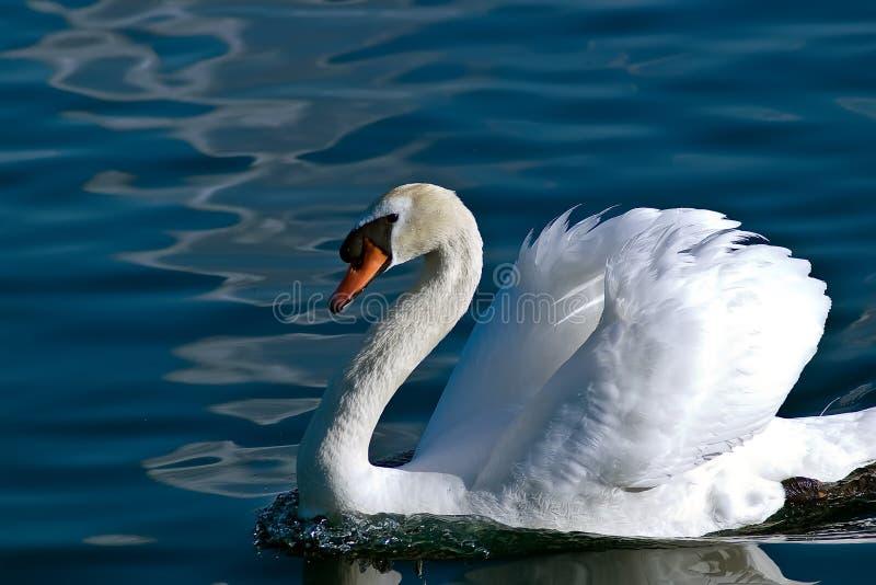 Biały łabędź lazily pływa obok na spokój wodzie obrazy royalty free
