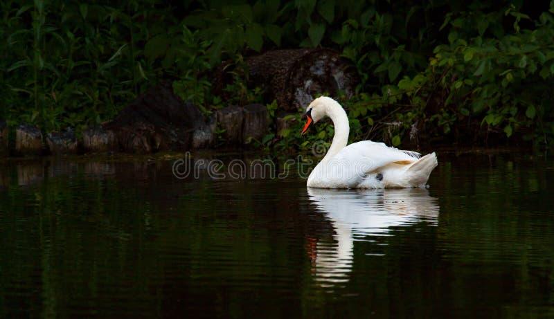 Biały łabędź na ciemnym nawadniającym jeziorze obrazy royalty free